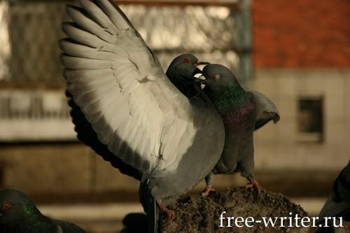 Городские голуби (20)