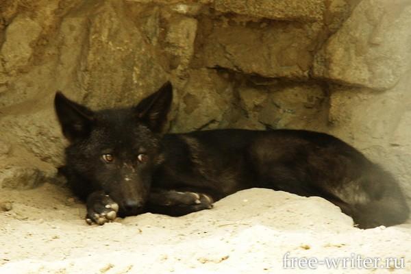 Чёрный волк в Новосибирском зоопарке
