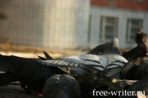 Городские голуби (4)