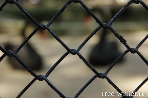 Черные Лебеди за решеткой