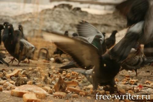 Городские голуби (15)