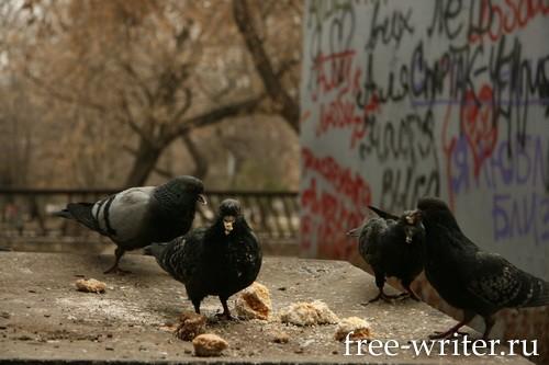 Городские голуби (11)