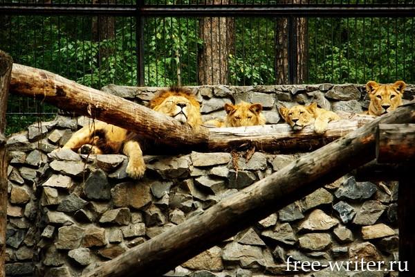 Львы в Новосибирском зоопарке
