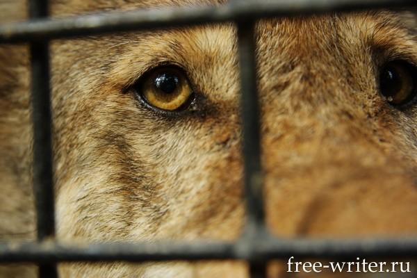 Волк за решеткой в зоопарке