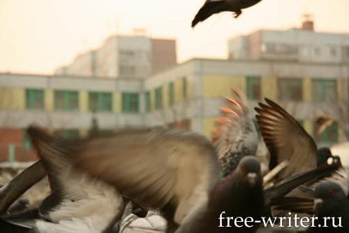 Городские голуби (10)