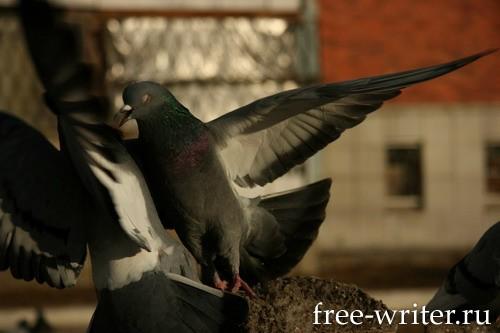 Городские голуби (5)