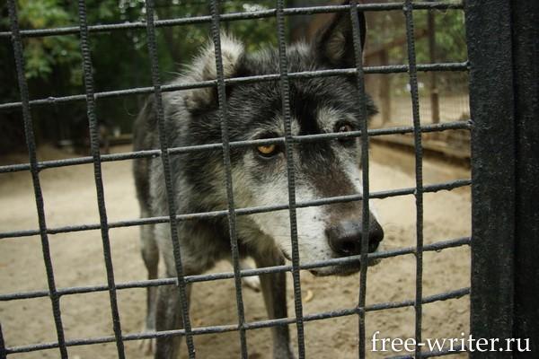 волк в Новосибирском зоопарке