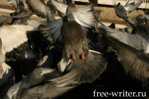 Городские голуби (18)