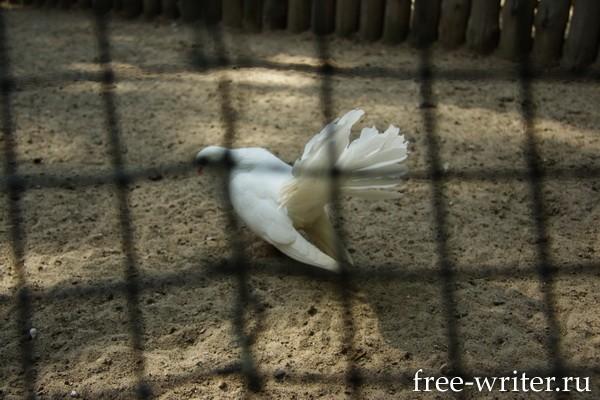 Белый голубь в клетке