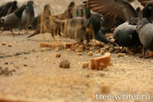 Городские голуби (3)