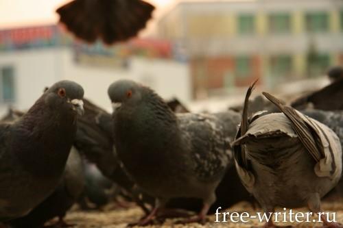 Городские голуби (12)