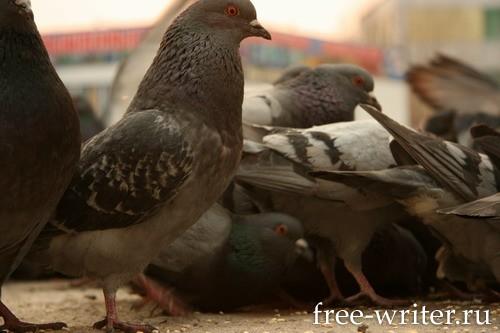 Городские голуби (13)