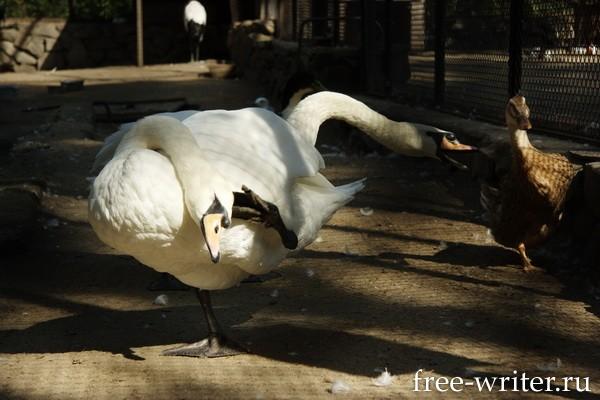 Лебеди в зоопарке Новосибирска