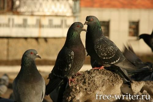 Городские голуби (7)
