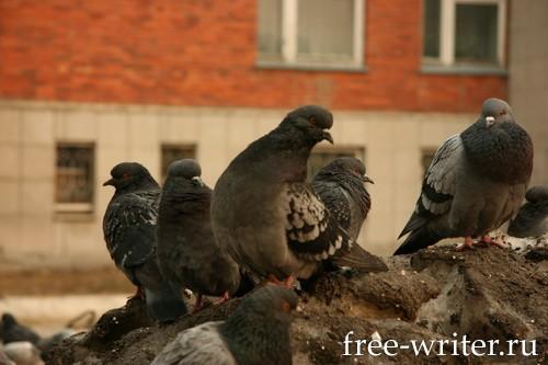 Городские голуби (16)