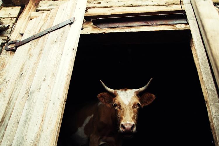 Корова в деревне