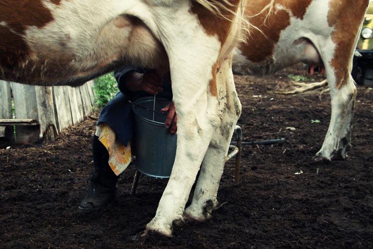 Дойка коровы в деревне