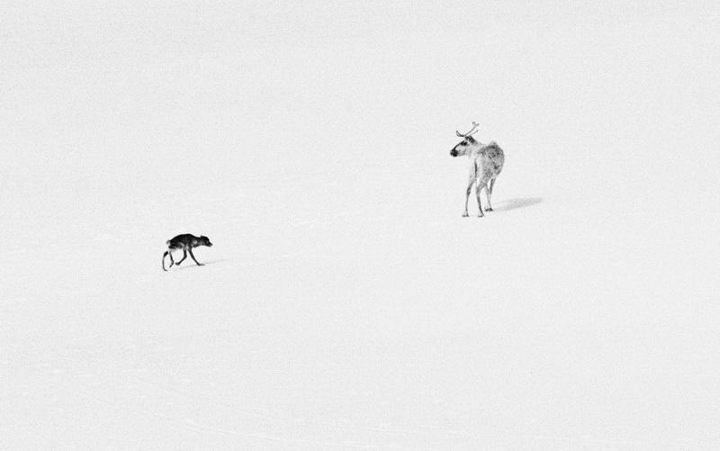 Тундра, олененок и собака