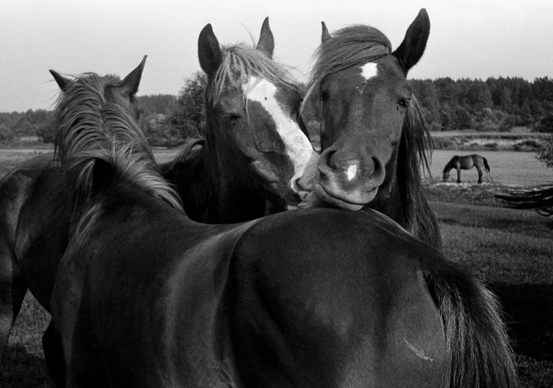 Лошади в Киселевке