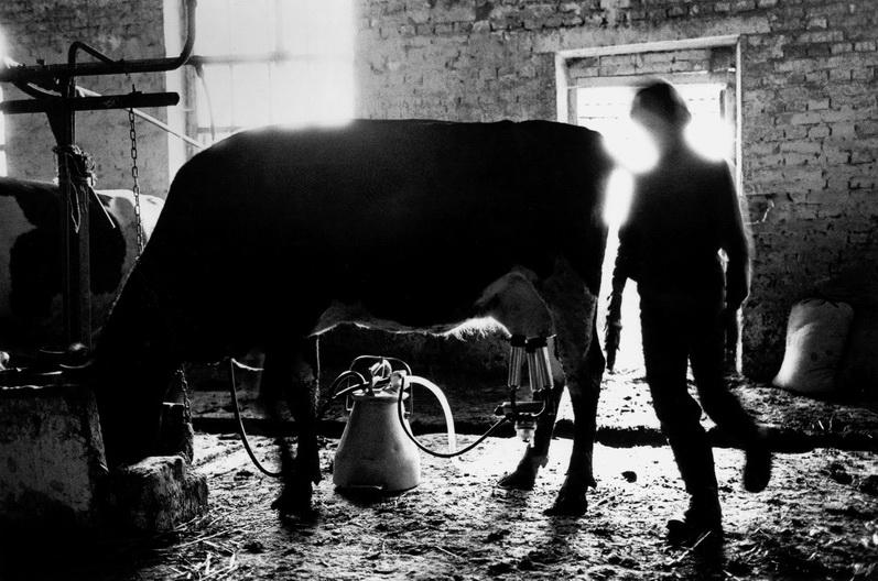 Деревня Киселевка, корова в сарае