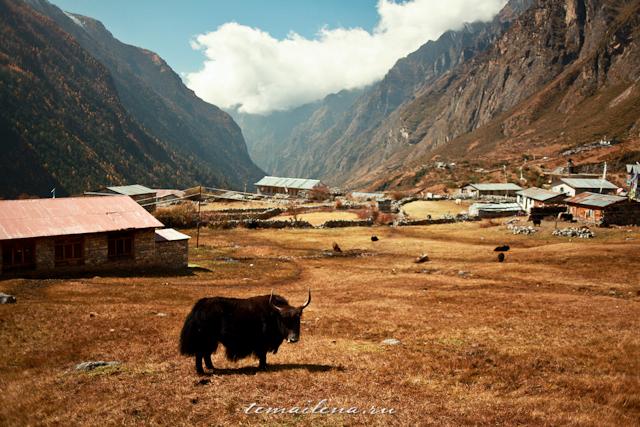 Яки в Гималаях