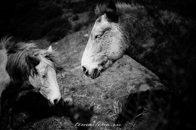 Лошади в Гималаях