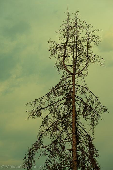 Дерево вилка