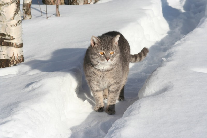 Серый кот на снегу