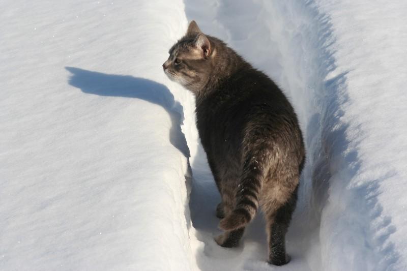 Кот по снегу