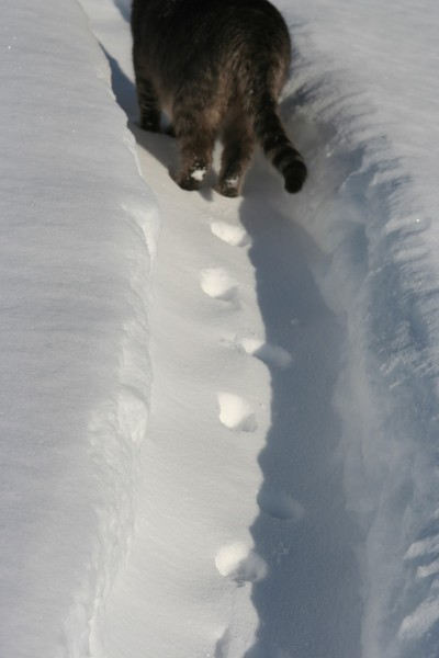 Кот на сугробах