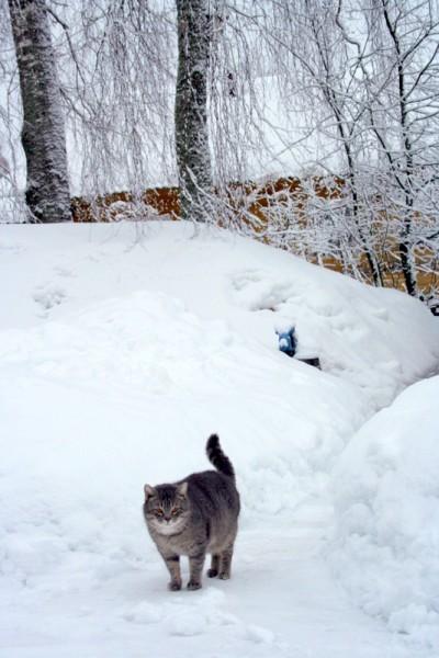 Кот в снегах