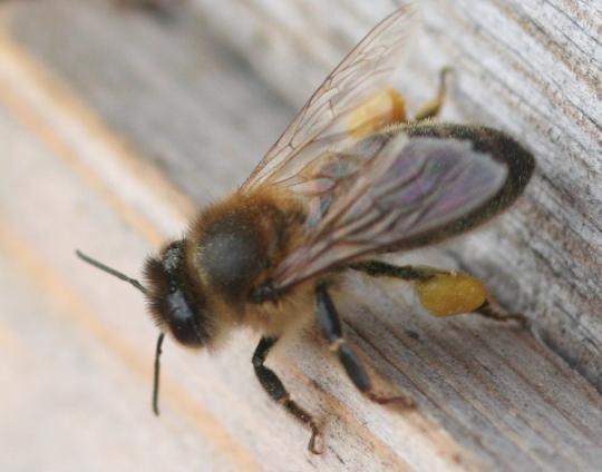 Мед на ножке пчелы
