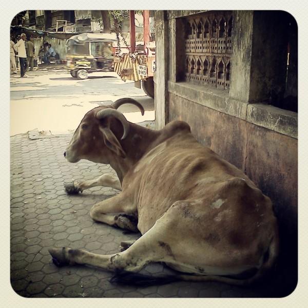 Корова, Индия