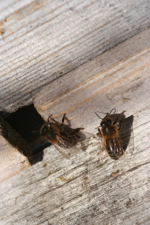 Пчелы в улье