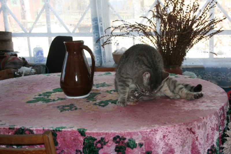 Кот на столе (2)