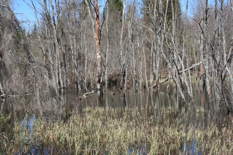 Бобровая плотина (5)