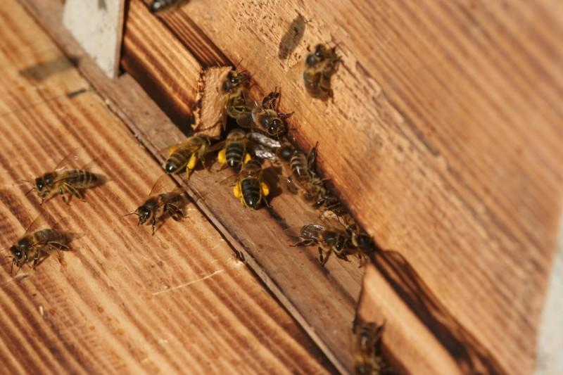 Пчелы (4)