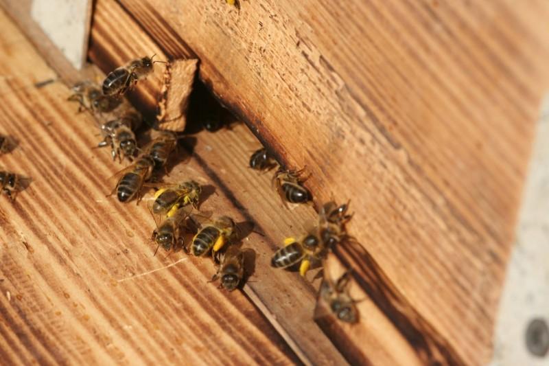 Пчелы (3)