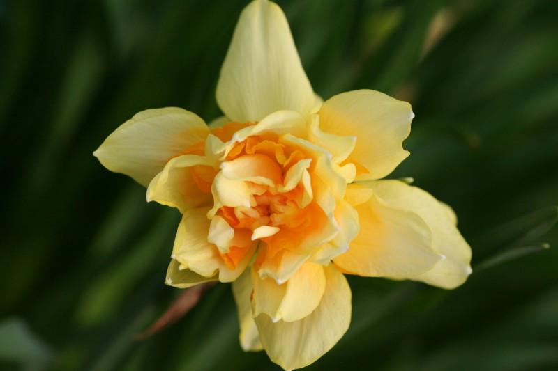 садовые цветы (11)