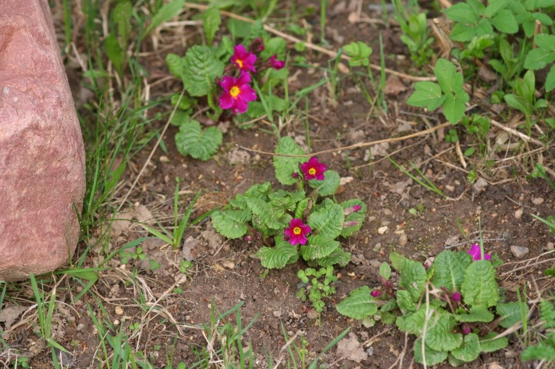 садовые цветы (9)