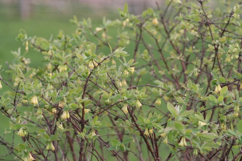 садовые цветы (8)