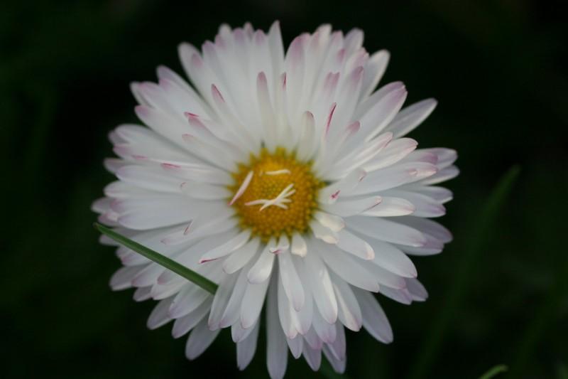 садовые цветы (6)