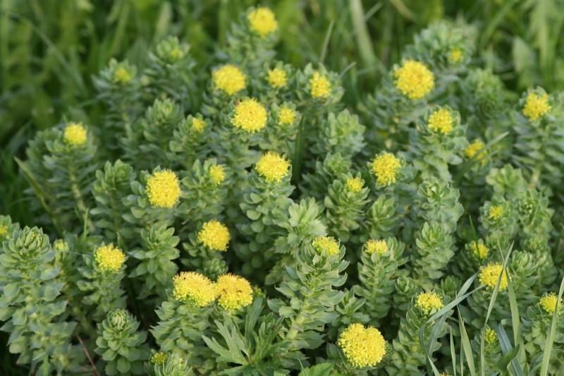 садовые цветы (4)