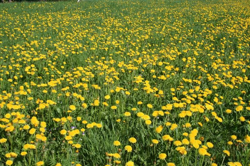 Желтые цветы (6)