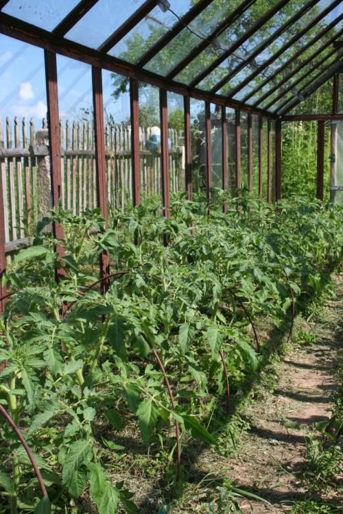 Теплица помидоры