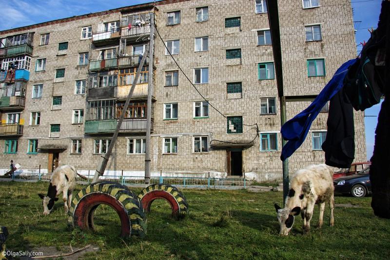 Корова во дворе многоэтажного дома