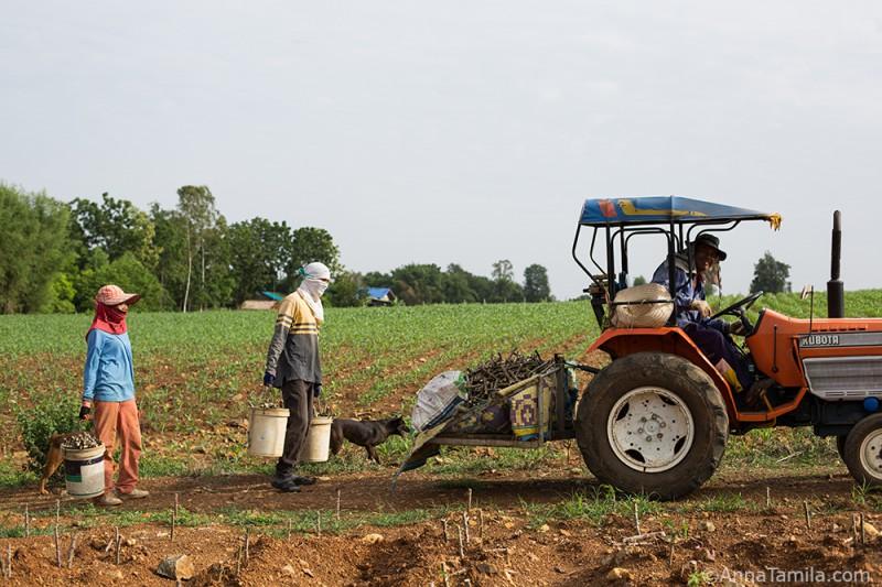 На картошку в Таиланде