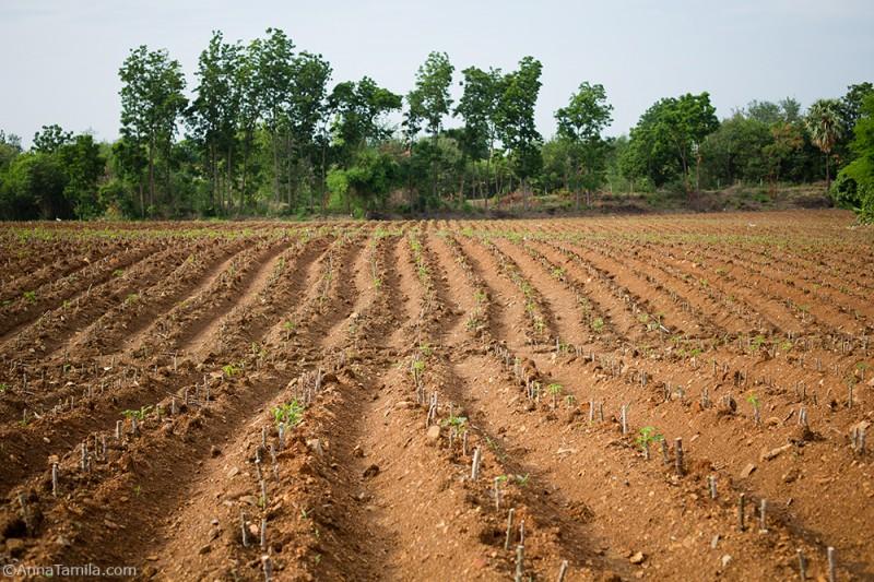 Картофельные поля в Таиланде