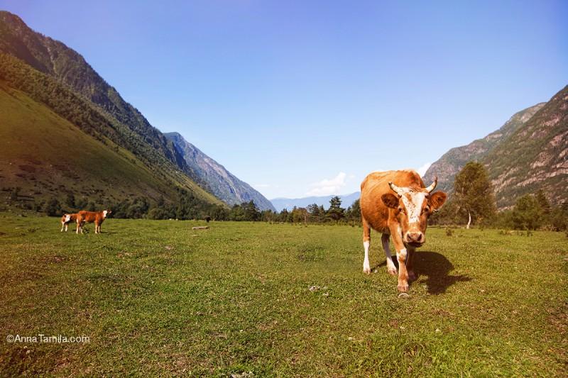 Корова на алтайских лугах