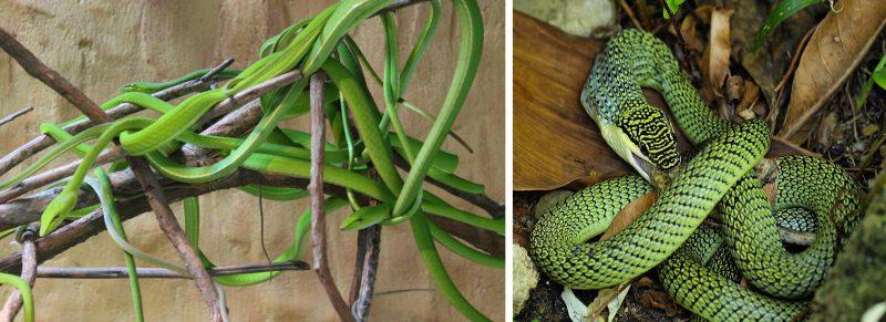 неядовитые зеленые змеи в Азии